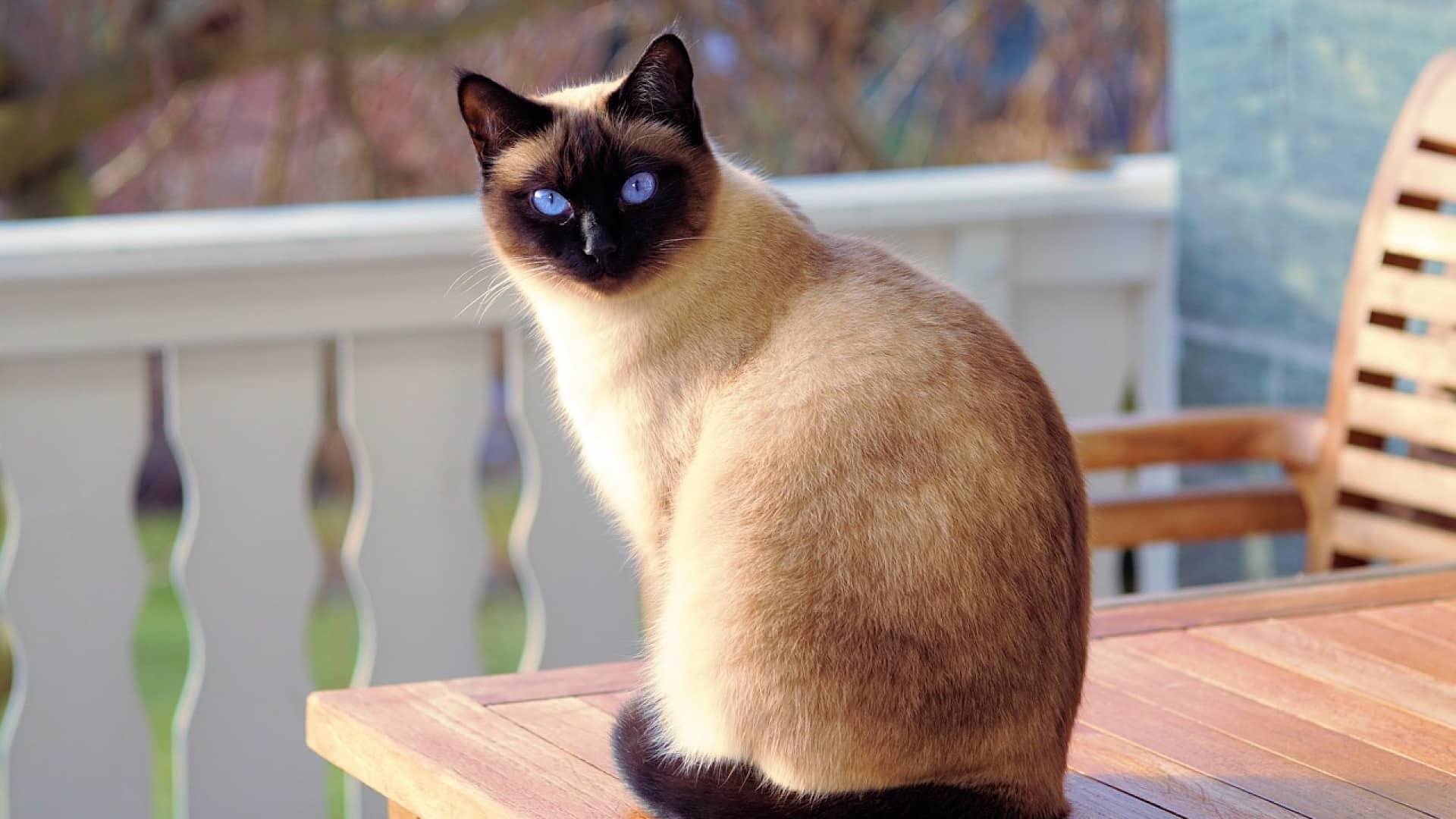 A la découverte des Tonkinois, une race de chats très sympathique
