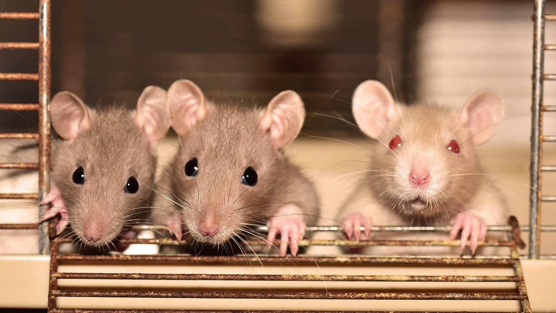Comment se débarrasser des rats à Paris