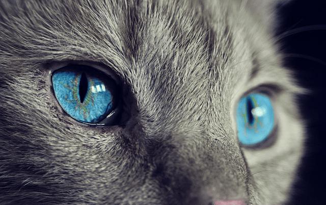 Top 5 des races de chat les moins connues