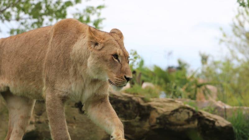 Quelles nouveautés vous attendent au zoo de Beauval ?